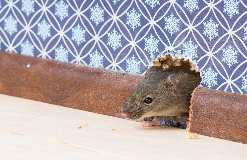 Topi in casa: quali sono i segnali di una possibile infestazione?