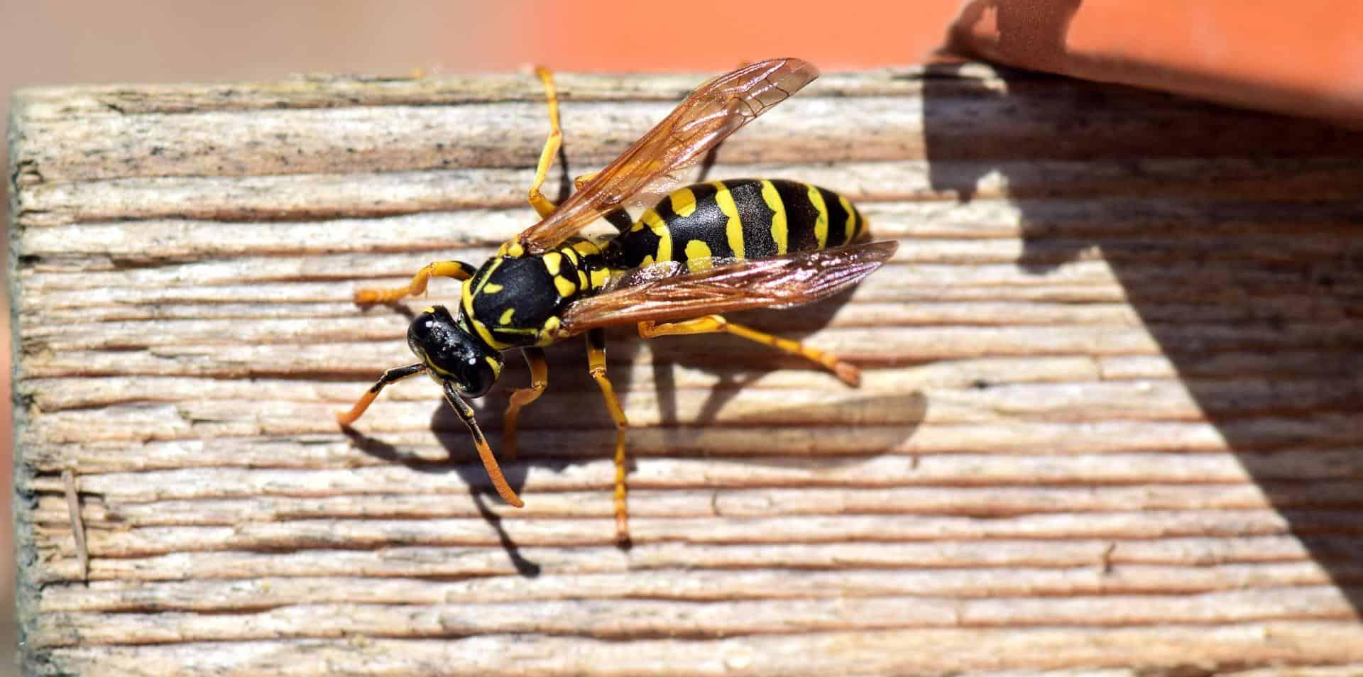 Allontanare le vespe: consigli utili e rimedi naturali