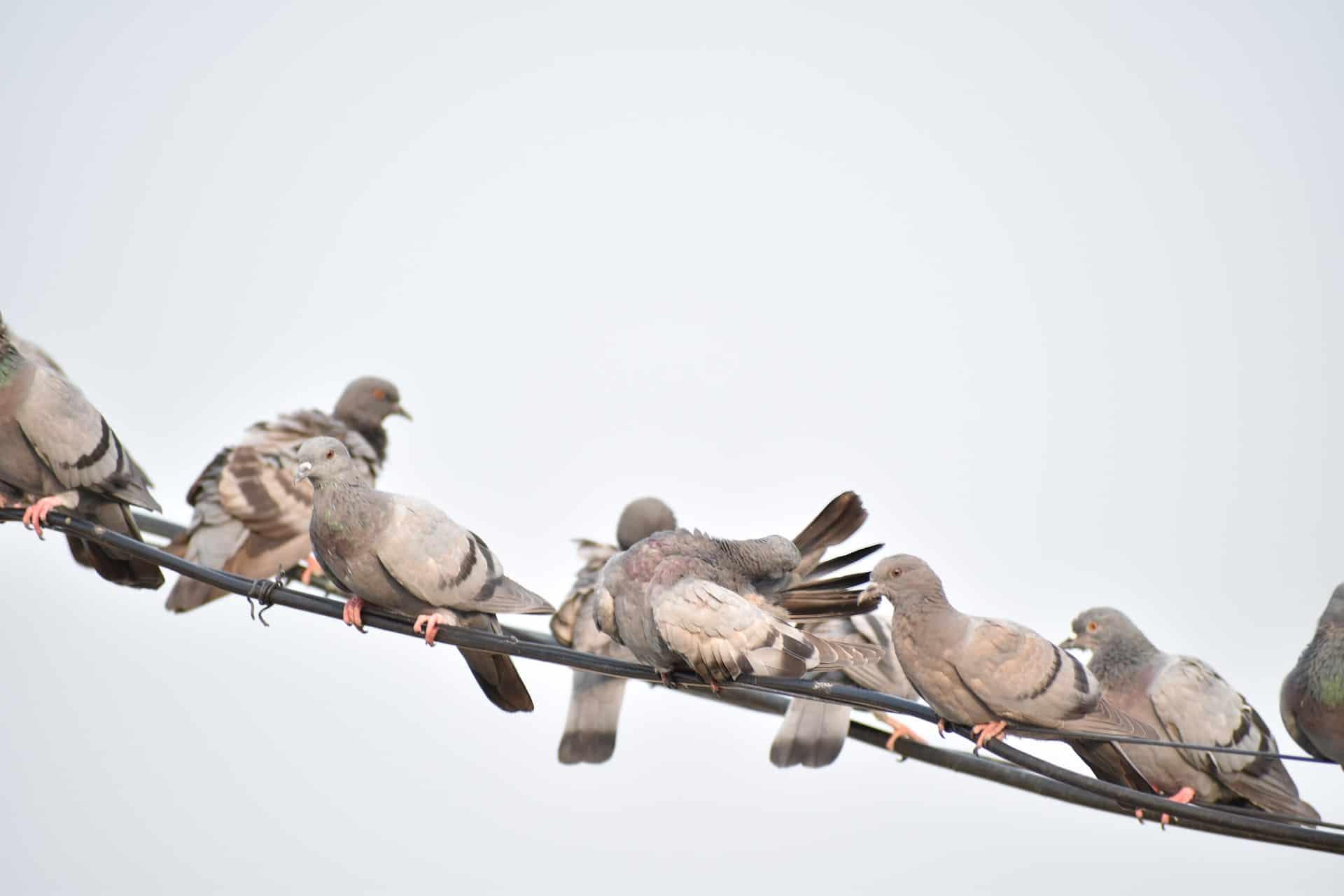 Come togliere il guano dei piccioni. Guida alla pulizia
