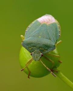 cimice verde